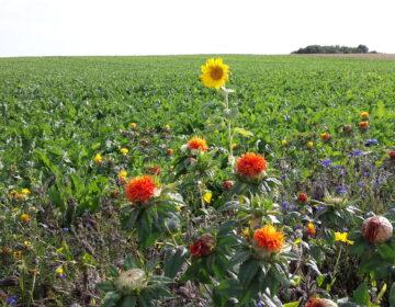 Biodiversity: Interview with a Südzucker sugar beet grower regarding his flower strips Image