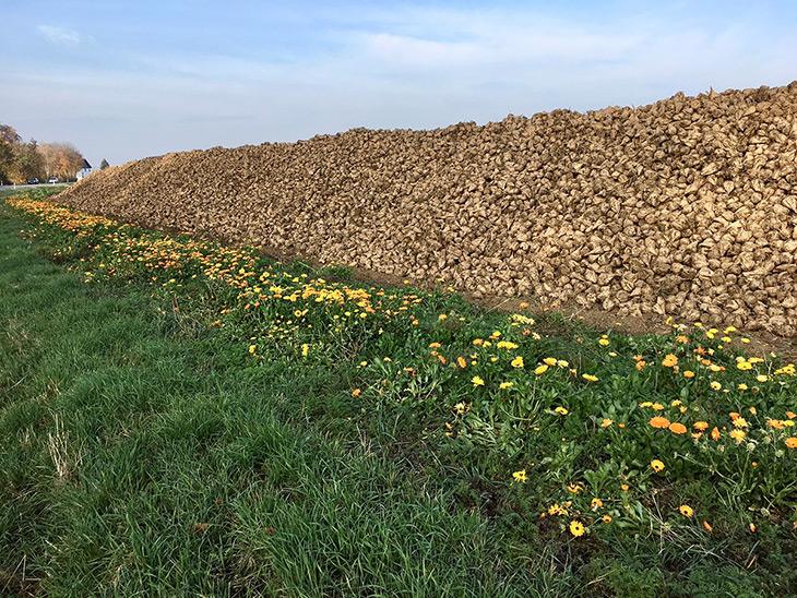 Bande fleurie longeant une culture de betteraves sucrières