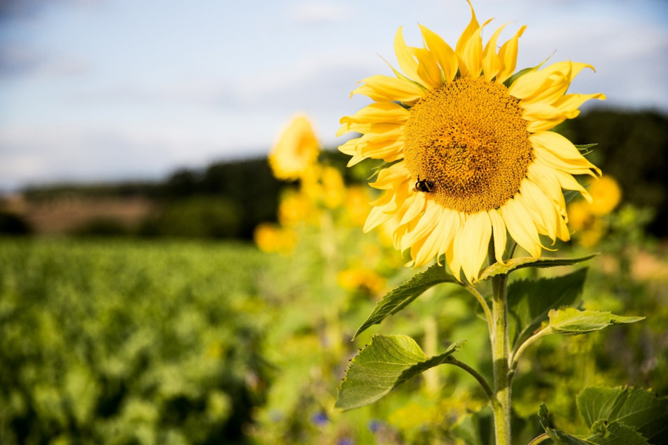 Südzucker Research on the Impact of Flower Strips on Biodiversity Image